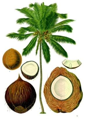 Jamaican Cocoanut
